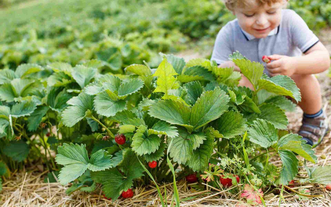 Erdbeeren Kind Schnabel auf