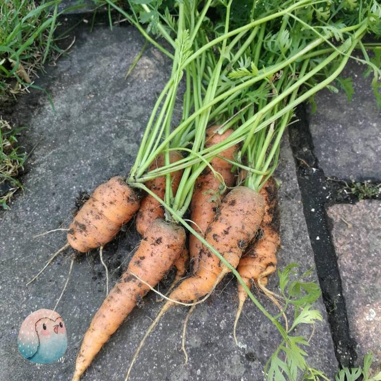 Karottengrün schnabel-auf.de