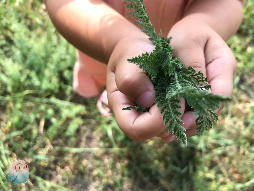 Kräuter Schafgarbe grün Kinder schnabel-auf